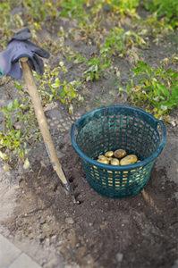 erste_Kartoffeln