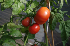 gartenzeit_tomaten