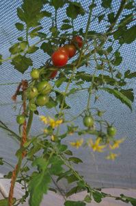 gartenzeit_tomaten2
